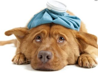 Ihr Hund krank ist